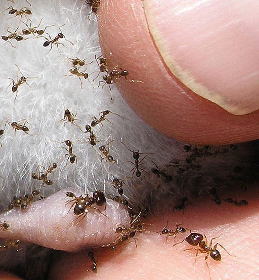 Can Sugar Ants Bite
